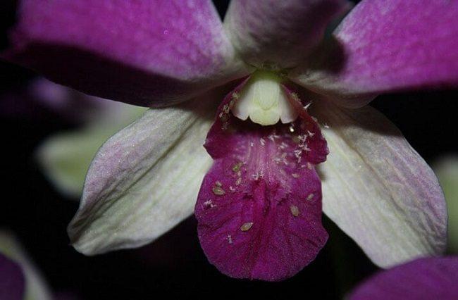 Тля на цветках