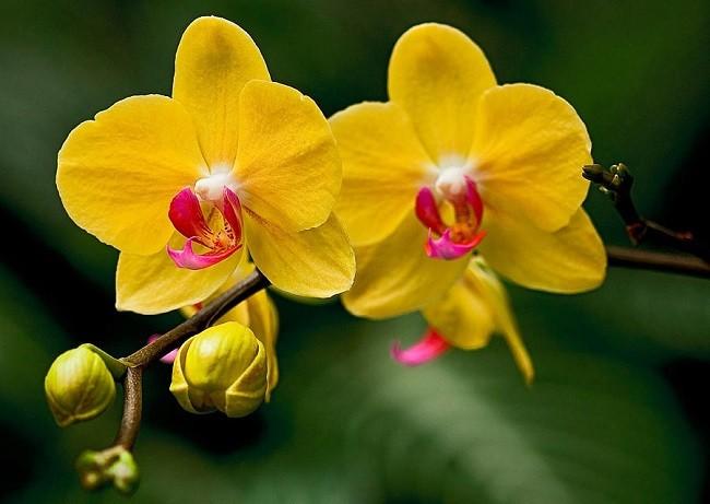 Желтые орхидеи фото