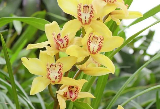 Желтые орхидеи фото цимбидиума