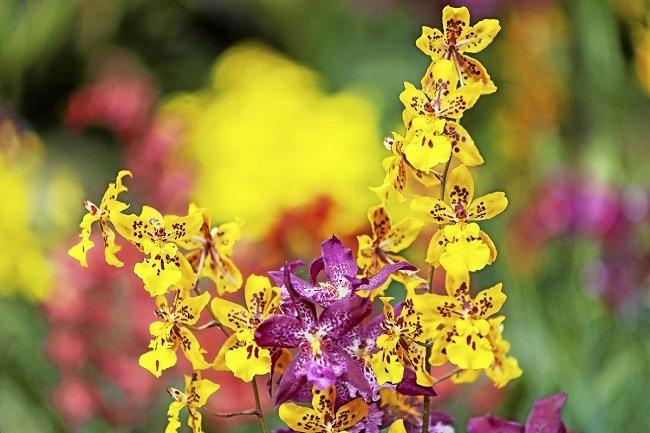 Желтые орхидеи фото онцидиумов