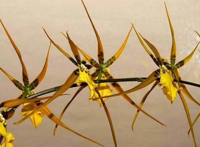 Окрас цветочков – ярко-желтый с небольшими белыми крапинками