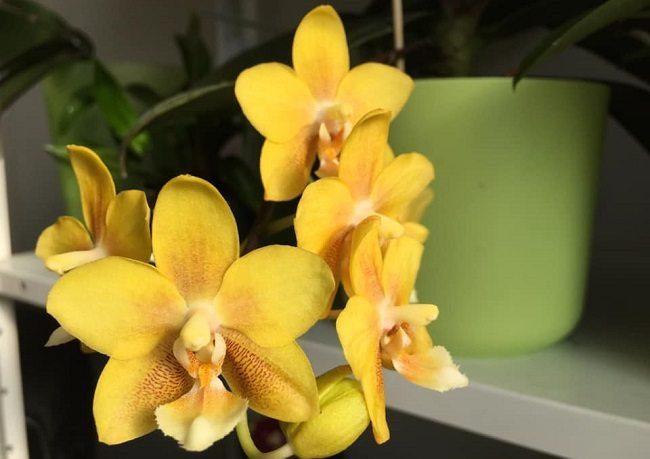 Фаленопсис Yellow chocolate