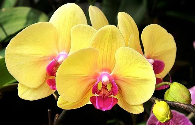 Фаленопсис Желтая жемчужина
