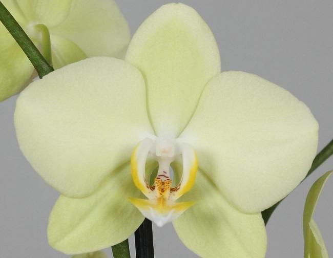 Желтый фаленопсис Алассио