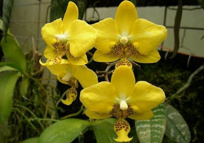 Желтый фаленопсис Стюартина