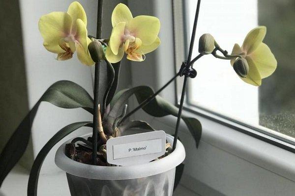Фаленопсис Malmo peloric