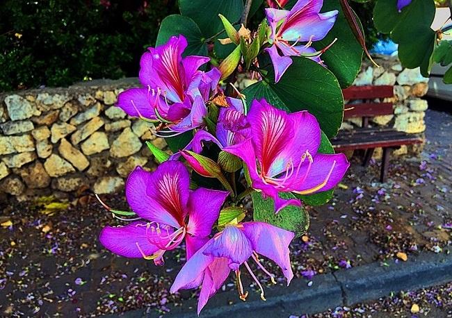 Цветущая баухиния