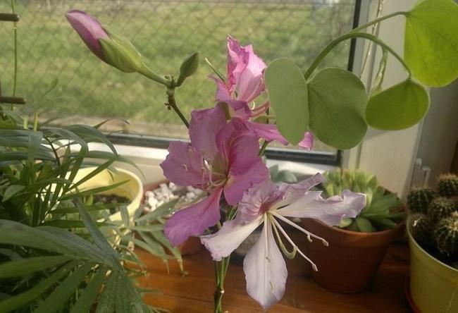 Баухиния орхидейное дерево дома