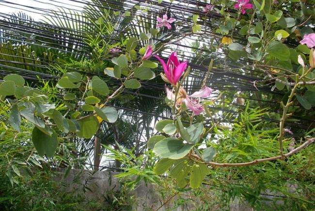 Баухиния в оранжерее
