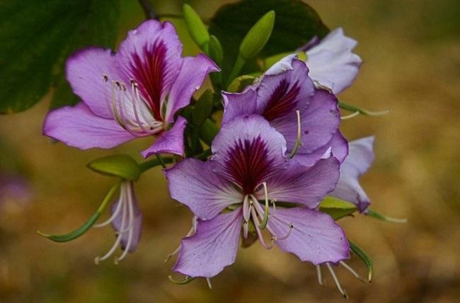 Щитковидная баухиия