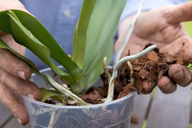 Распределение корней фаленопсиса