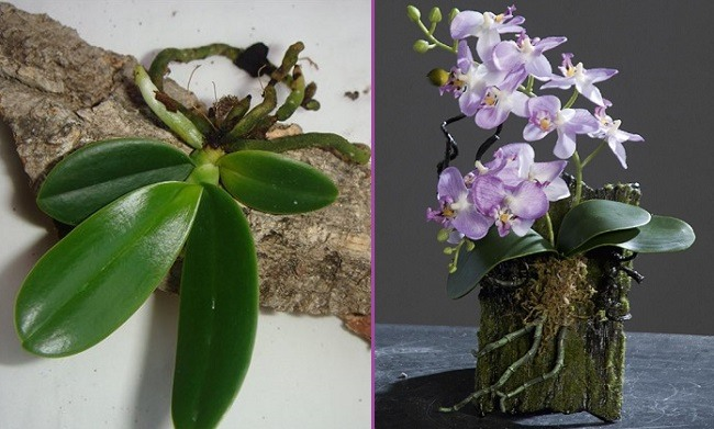Блочное выращивание фаленопсиса