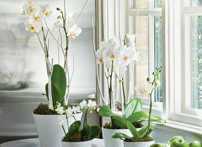 Белые орхидеи в горшках