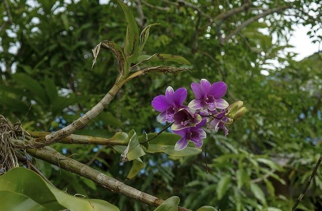 Фаленопсис в живой природе