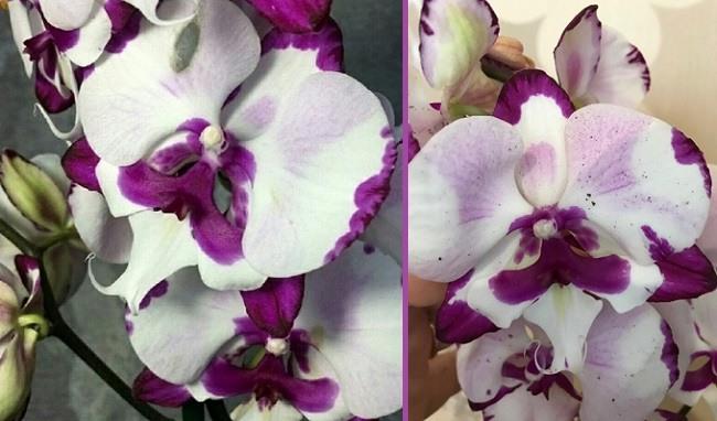 Орхидея Молния