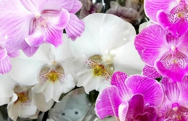 Орхидеи с большим лепестками цветов