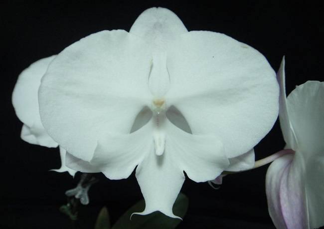 Белая орхидея Леонтина