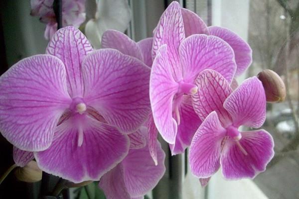 Нежно-розовый фаленопсис