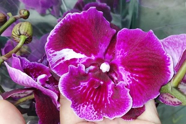 Ярко-сиреневая орхидея Биг Лип