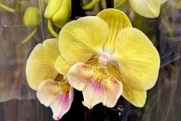 Желтая окраска Биг Липа