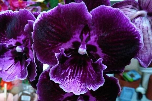 Насыщенный фиолетовый цвет лепестков