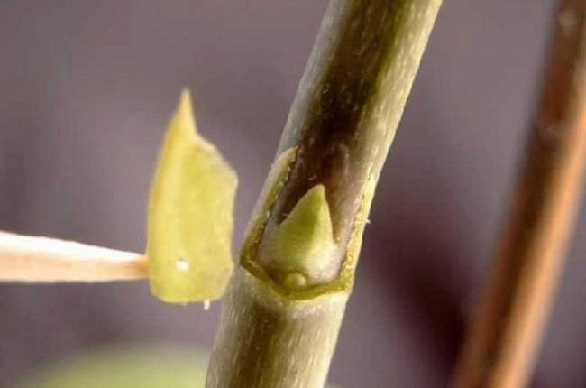 Стимуляция образования деток на орхидеи