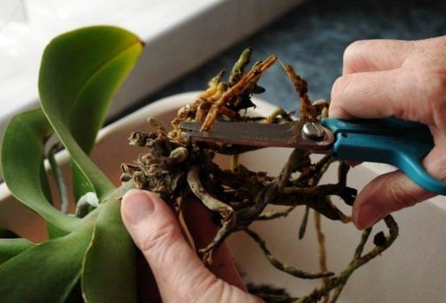 Обрезка больных корней у орхидеи