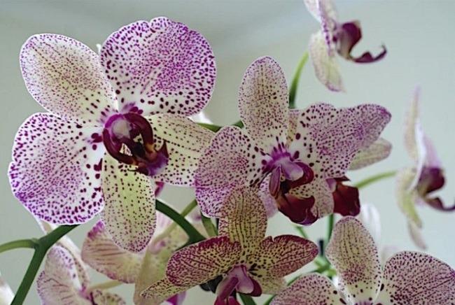 Окраска орхидеи