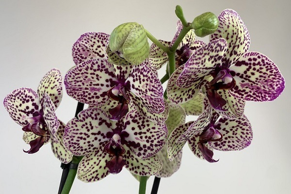 Орхидея Клеопатра