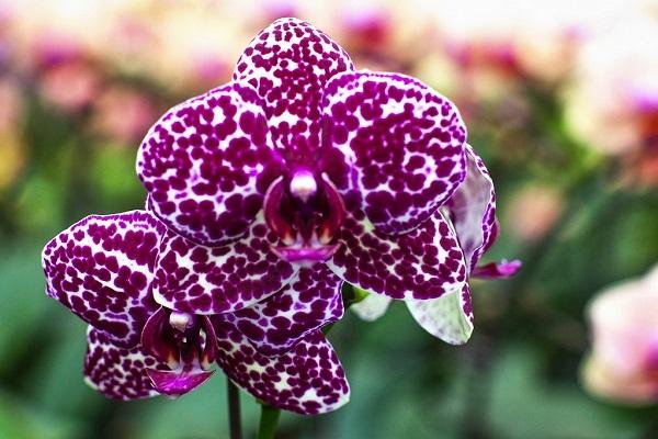 Яркая орхидея Дикий Кот