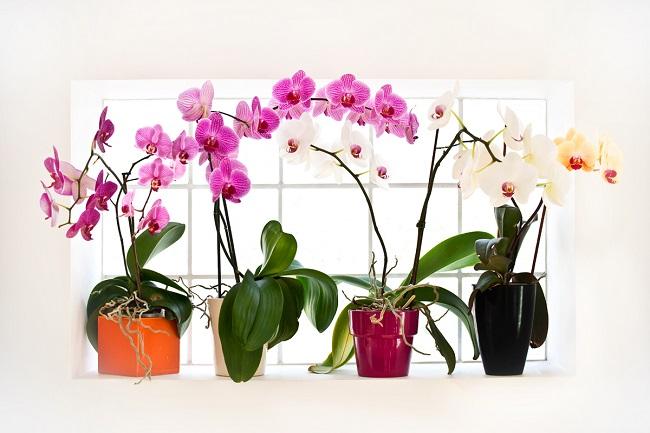 Яркие орхидеи в горшках