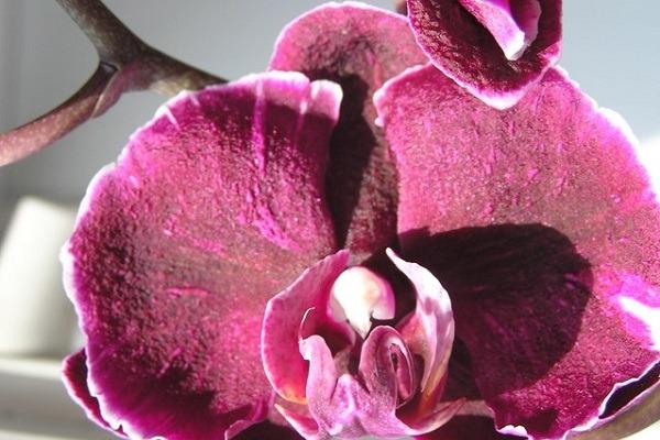 Темно-малиновая орхидея каменная роза