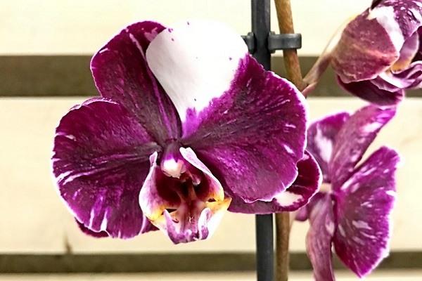 Сиреневая орхидея с белм пятном