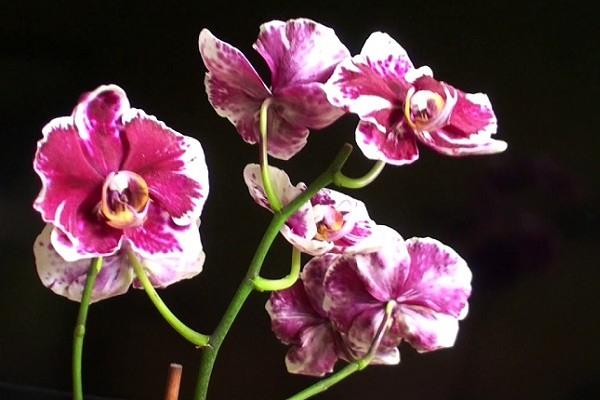 Пышное цветение фаленопсиса Каменная Роза
