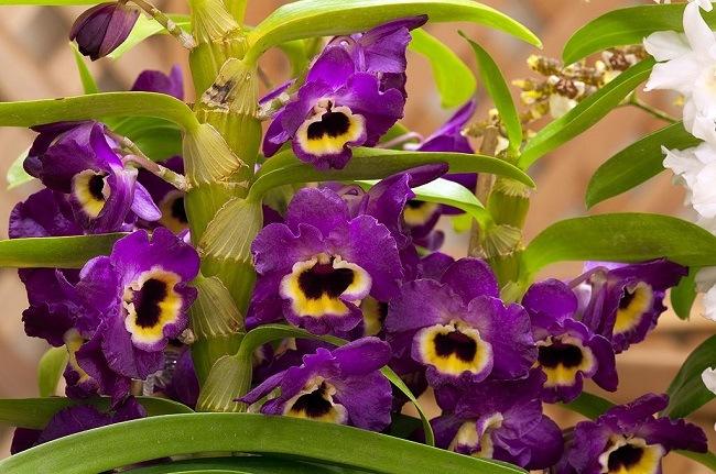 Фиолетовый дендробиум