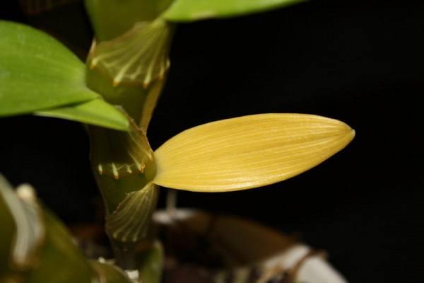почему у дендробиума желтеют листья