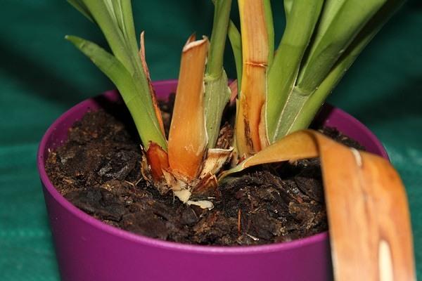 Ризоктониоз - пожелтение листвы от основания