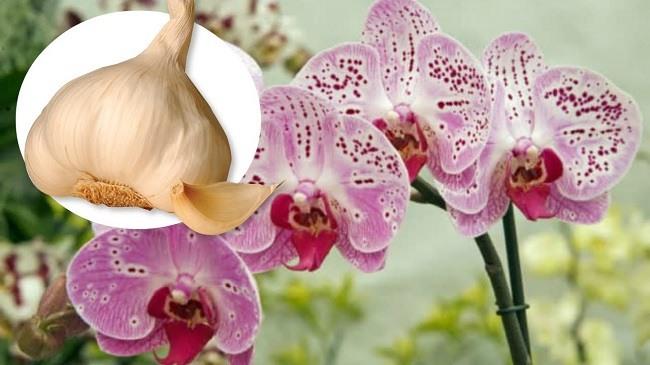 Подкормка чесноком орхидей
