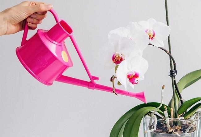 Подкормка орхидеи часночным раствором
