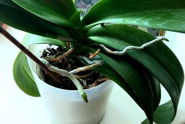 Как омолодить орхидею в домашних условиях