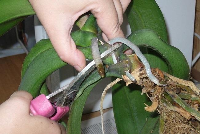 Старый фаленопсис омоложение
