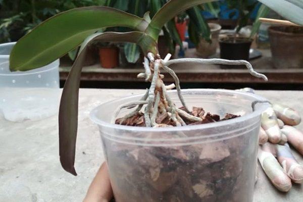 Омоложение старой орхидеи