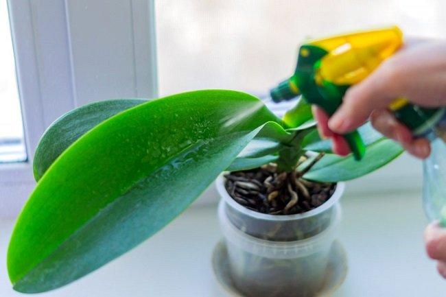 Опрыскивание орхидеи Фитолавином