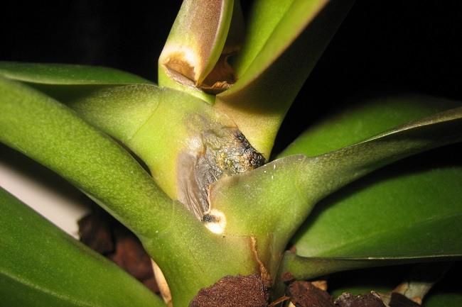Гниль стебля орхидеи