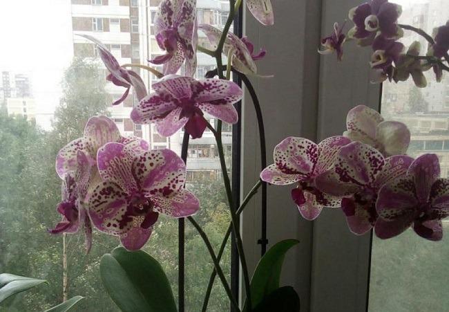 Длинные цветоносы орхидеи
