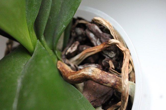 Сухие корни у фаленопсиса