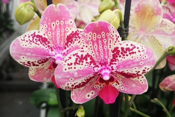 Нежно-розовая орхидея Фронтера