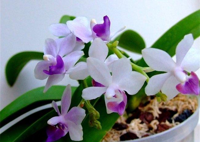 Орхидея Сапфир фото