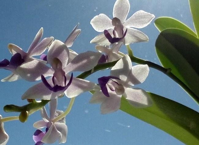 Цветки орхидеи tzu chiang sapphire