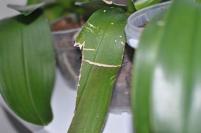 Треснул лист орхидеи